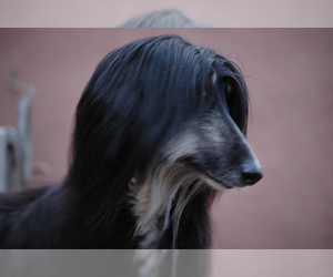 Small Photo #10 Afghan Hound Dog Breed