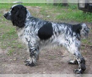 Image of Russian Spaniel breed