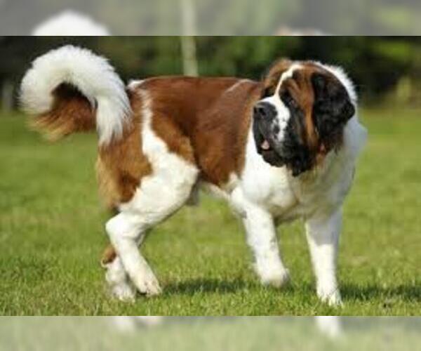 Medium Photo #5 Saint Bernard Dog Breed