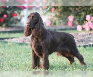 Small #7 Breed Field Spaniel image