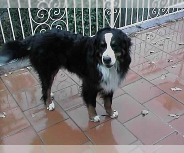 Image of Bernese Mountain Dog Breed
