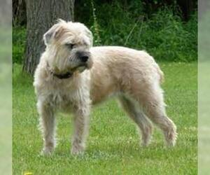 Small #4 Breed Soft Coated Wheaten Terrier image