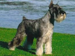 Medium Photo #4 Schnauzer (Standard) Dog Breed