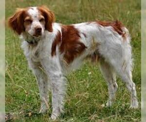 Small #4 Breed Brittany image