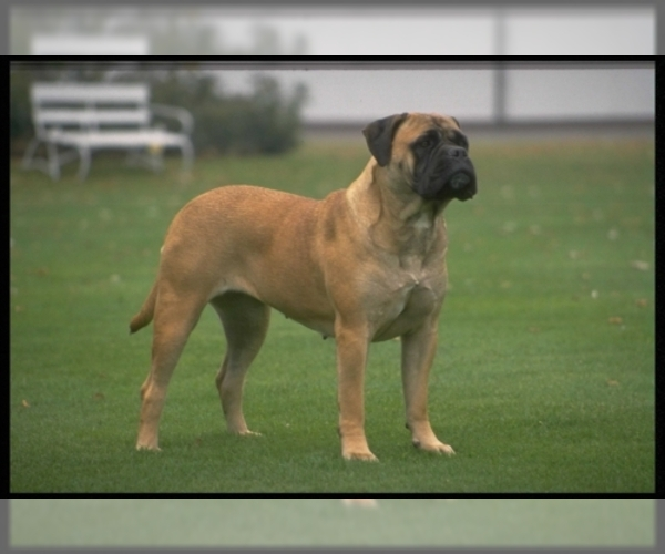 Image of Bullmastiff Breed