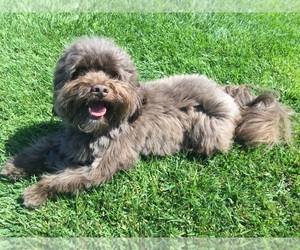 Image of breed Havanese