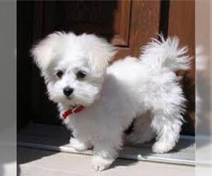 Small #3 Breed Maltese image