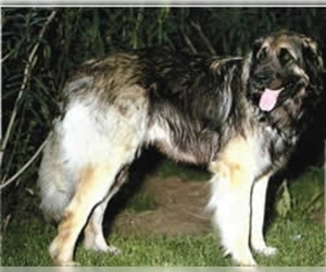 Image of Latvian Hound breed