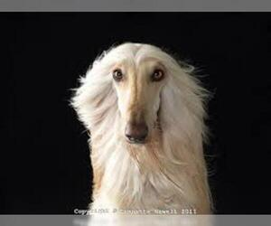 Small #18 Breed Afghan Hound image