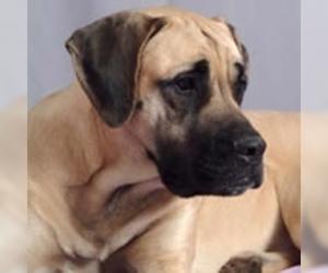 Small #1 Breed American Mastiff image