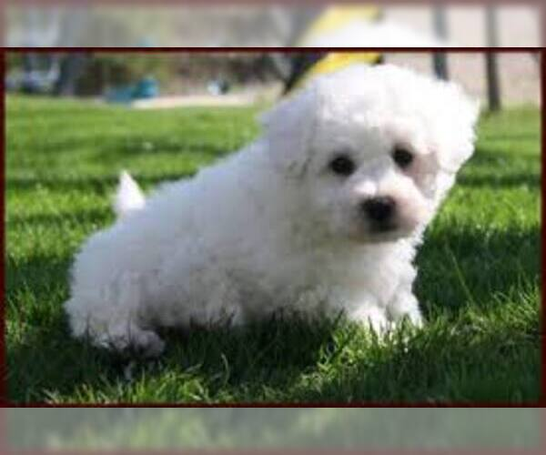 Medium Photo #2 Bichon Frise Dog Breed