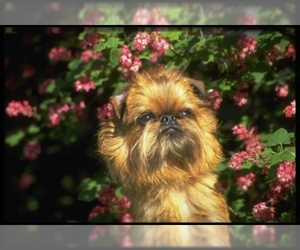 Image of breed Brussels Griffon