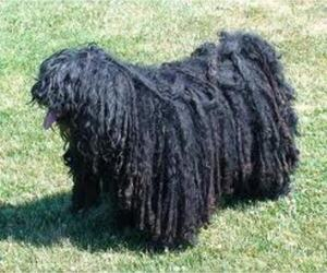 Small #4 Breed Puli image