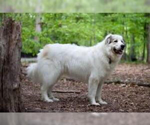 Small #6 Breed Great Pyrenees image