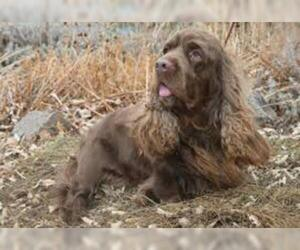 Small #3 Breed Sussex Spaniel image