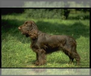 Image of Field Spaniel Breed