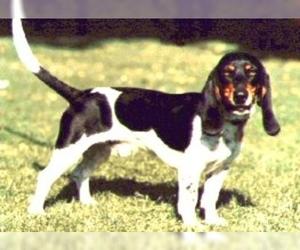 Samll image of Smaller Bernese Hound