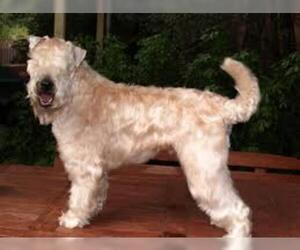 Small #2 Breed Soft Coated Wheaten Terrier image