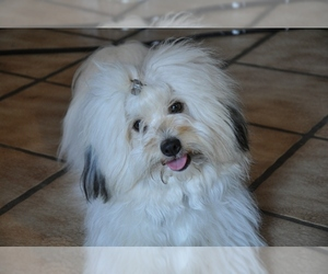 Image of Coton de Tulear Breed