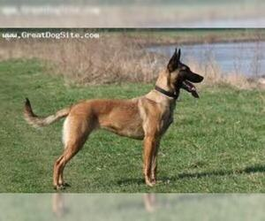 Small #2 Breed Belgian Malinois image