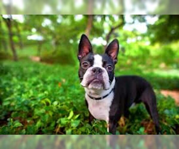Boston Terrier Breed Information and Pictures on ...