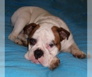 Image of Australian Bulldog breed
