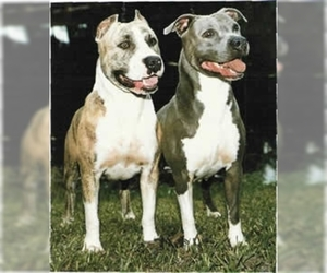 Image of American Pit Bull Terrier Breed