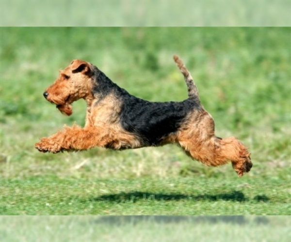 Image of Welsh Terrier Breed