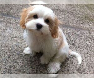 Cav A Malt Breed Information And Pictures On Puppyfinder Com