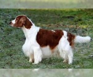 Small #2 Breed Welsh Springer Spaniel image