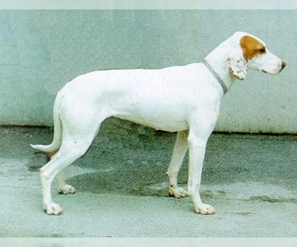 Image of Istrian Smooth-Coated Hound Breed