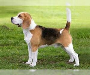 Small #5 Breed Beagle image