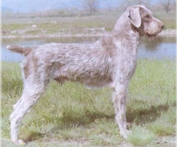 Slovakian Wire-Haired Pointing Griffon