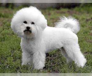 Small #6 Breed Bichon Frise image