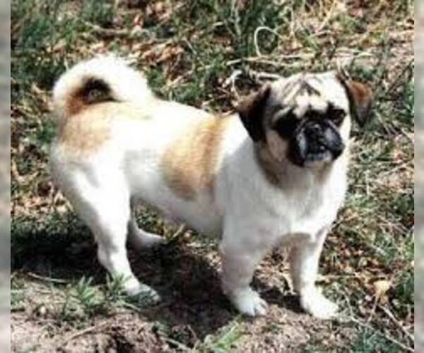 Medium Photo #6 American Bullnese Dog Breed