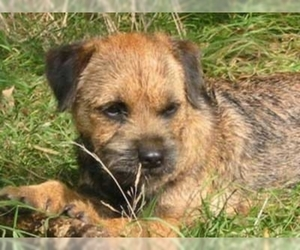 Image of Border Terrier Breed