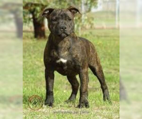 Medium Photo #4 Staffordshire Bull Terrier Dog Breed