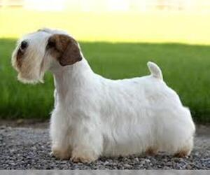 Small #6 Breed Sealyham Terrier image