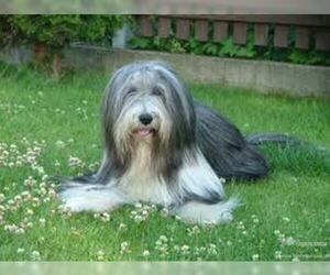 Small #5 Breed Bearded Collie image