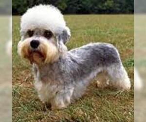 Small #6 Breed Dandie Dinmont Terrier image