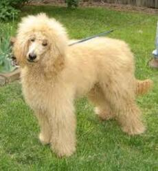Small #5 Breed Poodle (Standard) image