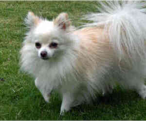 Small #4 Breed American Eskimo Dog (Toy) image