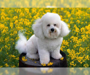 Small #2 Breed Bichon Frise image