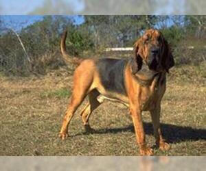 Small #1 Breed Bloodhound image