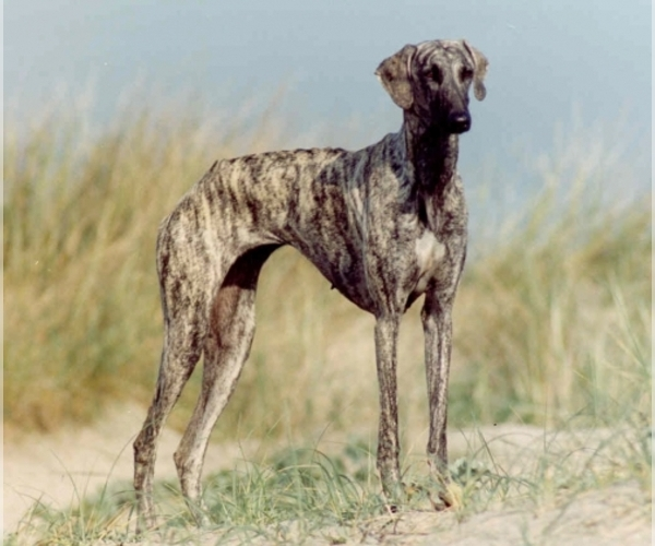 Image of Sloughi Breed