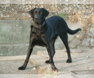 Portuguese Cattle Dog