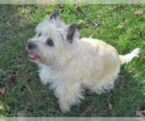 Small #3 Breed Cairn Terrier image