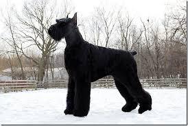 Medium Photo #4 Schnauzer (Giant) Dog Breed