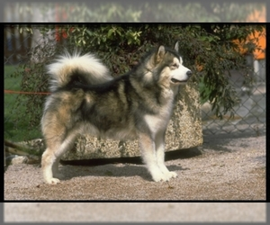 Image of Alaskan Malamute breed