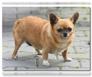 Small Photo #3 Chihuahua Dog Breed